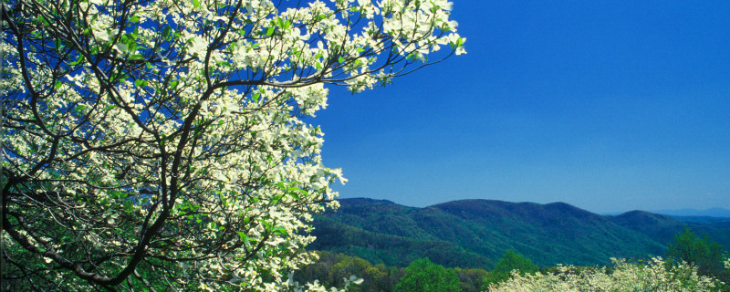 Dogwood Tree with Mountain View